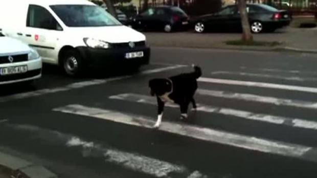 caine pe trecere